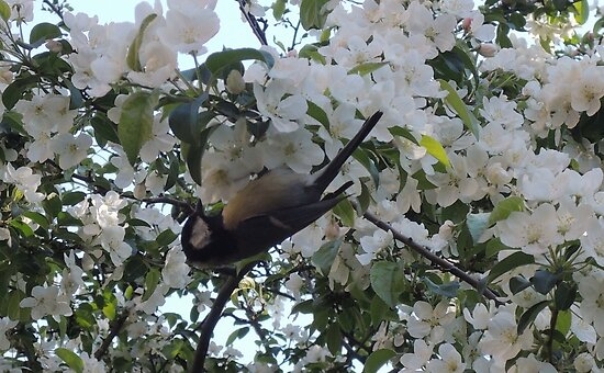 Nimble Musician (Bird in Blossom) by CreativeEm