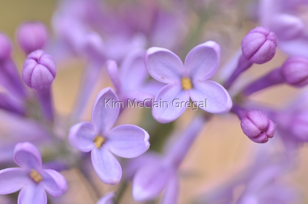 Lilac Macro, As Is by Kim McClain Gregal