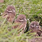 Trio of Baby Burrowing Owls, As Is by Kim McClain Gregal