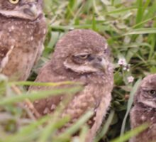 Trio of Baby Burrowing Owls, As Is Sticker