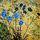 Flax on the rocks (Linum perenne var. lewisii) by Yukondick
