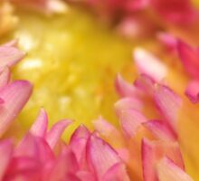 Pink and Yellow Dahlia, As Is Sticker