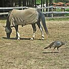 Wild Turkey Who Loves The Horses by Jane Neill-Hancock