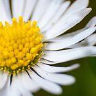 Single Daisy by Marcus Grant IPA