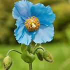 Himalayan Blue Poppy by M.S. Photography/Art