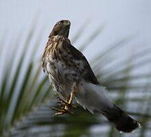 Juvenile Cooper Hawk by Brenda Dow