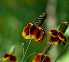 Mexican Hat Coneflower by RenaeSoleil