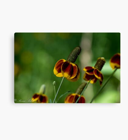 Mexican Hat Coneflower Canvas Print