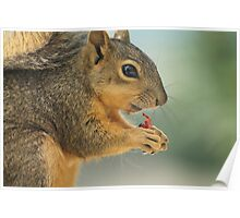 squirrel eating strawberry Poster