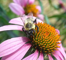 Echinacea and a Rare Sight by SaraNS