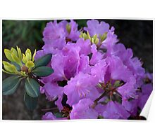 spring purple azalea flowers. floral nature photography. Poster