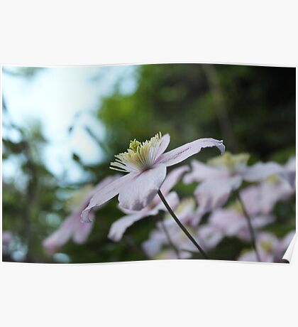 spring pink vine flowers. floral nature garden photography. Poster