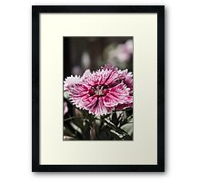Sweet William Framed Print