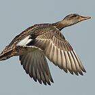Mallard in Flight by Alec Owen-Evans