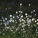 Hare's-tail Cottongrass by Martins Blumbergs