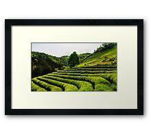 Lone tree among green tea Framed Print