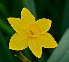 Daffodil  by Carolyn Clark