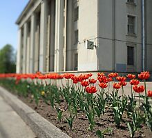 terry red tulips by mrivserg