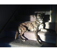 Brindle puppy dog Photographic Print