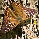 Hackberry Emperor Butterfly  by lorilee