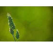Tall Grass Seed Head Detail Photographic Print