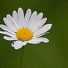 Daisy by Gill Langridge