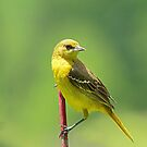 Mrs. Orchard Oriole by Janice Carter