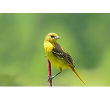 Mrs. Orchard Oriole Photographic Print