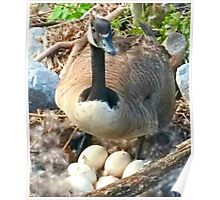 Mama Duck Guarding Her Eggs (for my 5 grandchildren) Poster