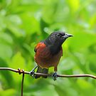 Mr Orchard Oriole by Janice Carter