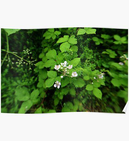 Blackberry Flowers  Poster