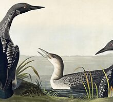 Black-throated Diver (Colymbus Arcticus) by Bridgeman Art Library