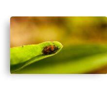 Heteroptera hiding in aster leaf Canvas Print
