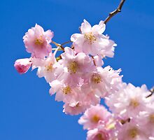 Blue Sky and Cherry Blossoms (version 2) by Sharon Murphy
