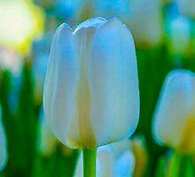 IRRIDESCENT WHITE TULIP by pjm286