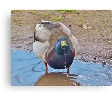 Duck Dribbles Canvas Print