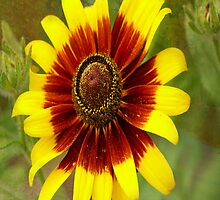 Flower Sunburst by JohnDSmith