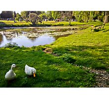Duck couple near a pond, near a cemetery, in New England Photographic Print