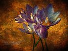 Crocus Speciosus by © Kira Bodensted