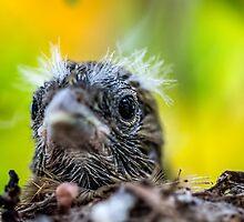 Juvenile Mockingbird by Bernd F. Laeschke