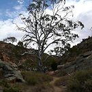 Majestic Tree.  Mannum.  South Australia. by Kay Cunningham