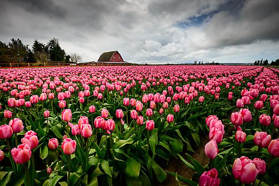 Pretty in Pink by Dan Mihai