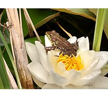 Frog on a Lily Photographic Print