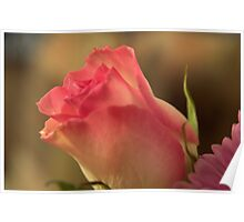 Soft Pink and White Rose, As Is Poster