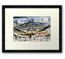 Blue Claw Crab in the Sand Framed Print