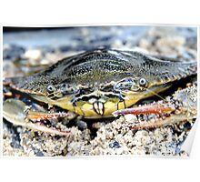 Blue Claw Crab in the Sand Poster