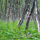 Birchwood summer by Algot Kristoffer Peterson