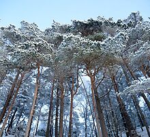 Winter pine trees by Algot Kristoffer Peterson
