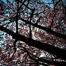 Japanese cherry tree in contrast by Algot Kristoffer Peterson