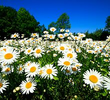 A field of daisies by GaryNeilCorbett